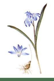 Scilla luciliae (Boiss.) Speta var. gigantea [as Chionodoxa luciliae Boiss. var. gigantea] Addisonia, vol. 1: t. 33 (1916) [M.E. Eaton]