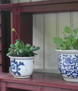 Gluren bij de dierentuinburen: de Primula's