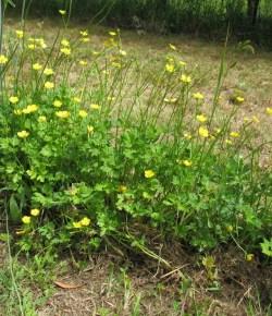 Kruipende boterbloem (Ranunculus repens)