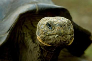 Uno de los galápagos gigantes que dan nombre al archipiélago – ©depositphotos.com/pxhidalgo