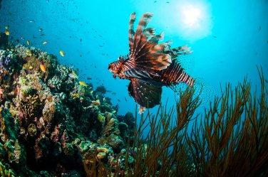 Pterois Volitans,un pez marino venenoso. Islas Gili, Indonesia