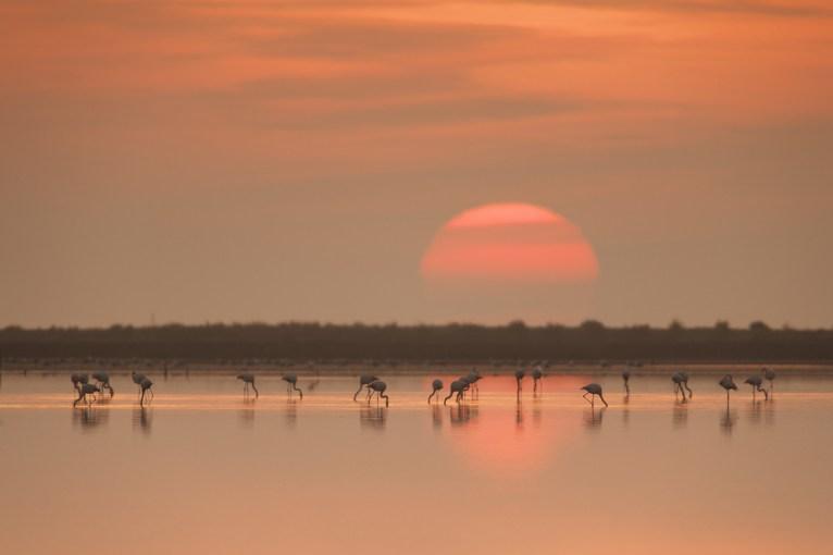 Flamencos al amanecer en el delta del Ebro