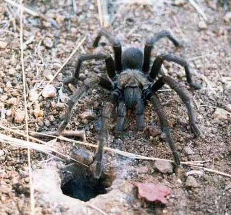 Photo of Tarantula by Ed Ashworth