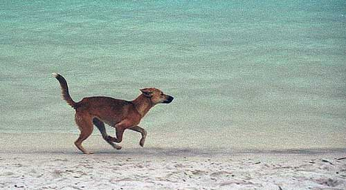 Dingo on Frazer Island