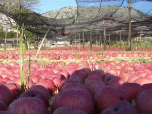 valle-di-maddaloni-ce-xvi-sagra-della-mela-annurca-395