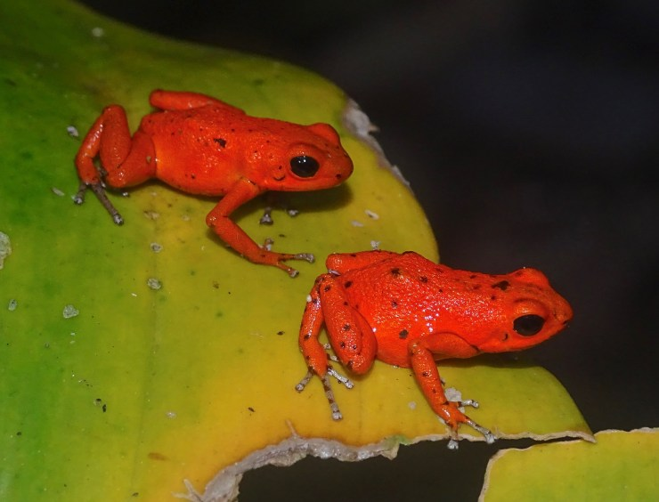 Two individuals of the poison frog, Oophaga pumilio, from the old cemetery on Solarte Island, Bocas del Toro Archipelago, Panama. The color pattern of these frogs is different on each of the islands of the Bocas del Toro Province. (Photo by Hinrich Kaiser)