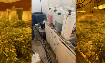Victorville MET deputies served 6 search warrants at illegal marijuana cultivation sites;1900 lbs of marijuana seized