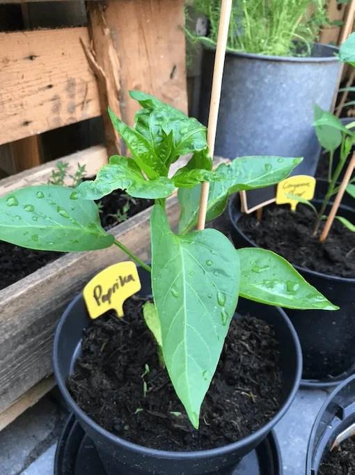 paprika plant