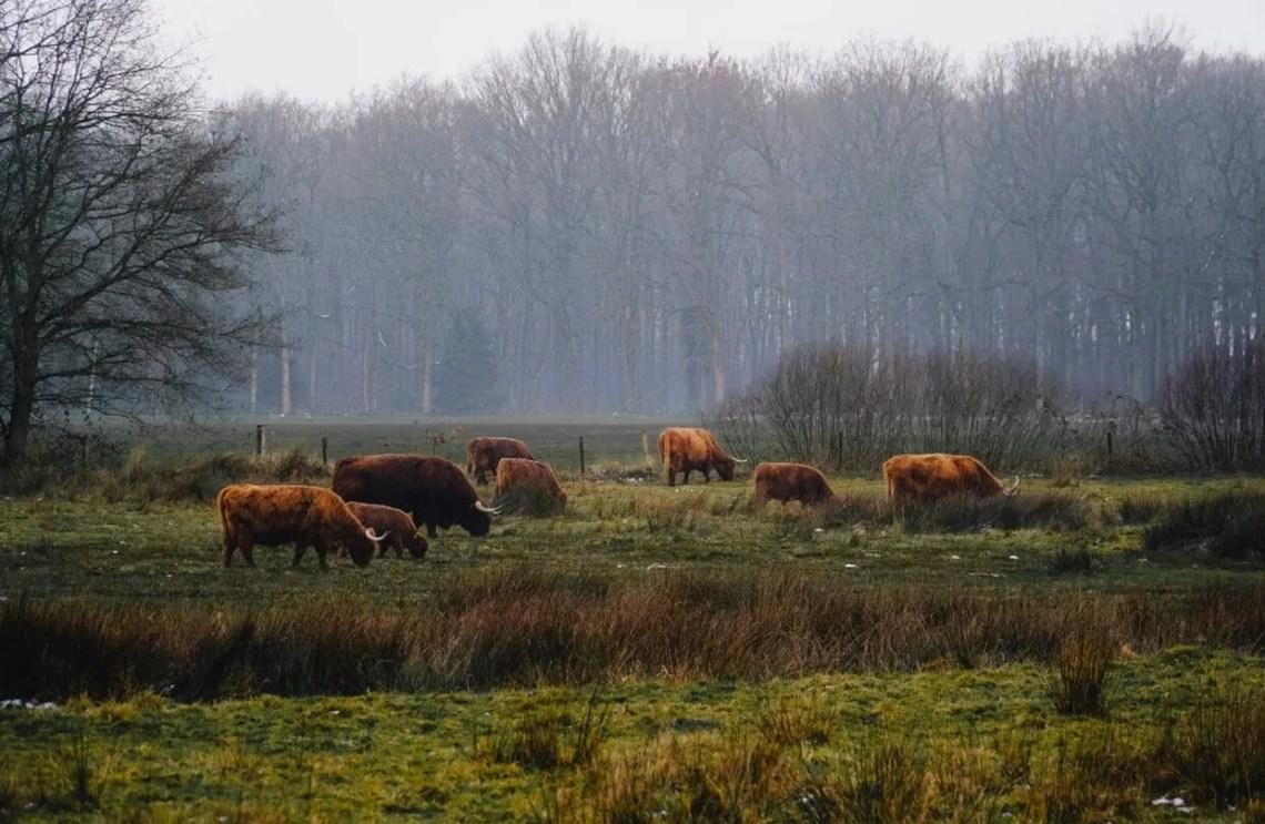 schotse hooglanders spotten Drenthe