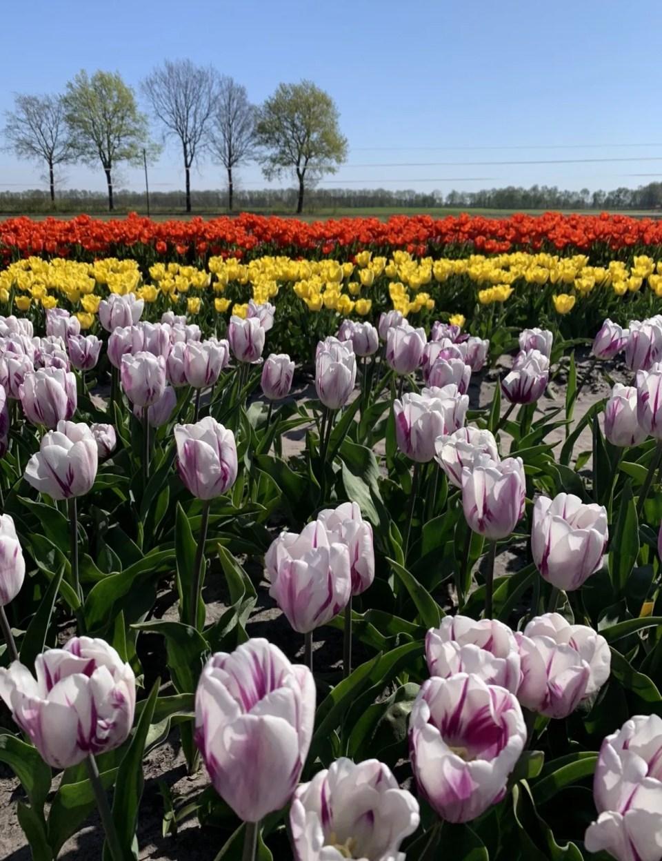 tulpen pluktuin Drenthe