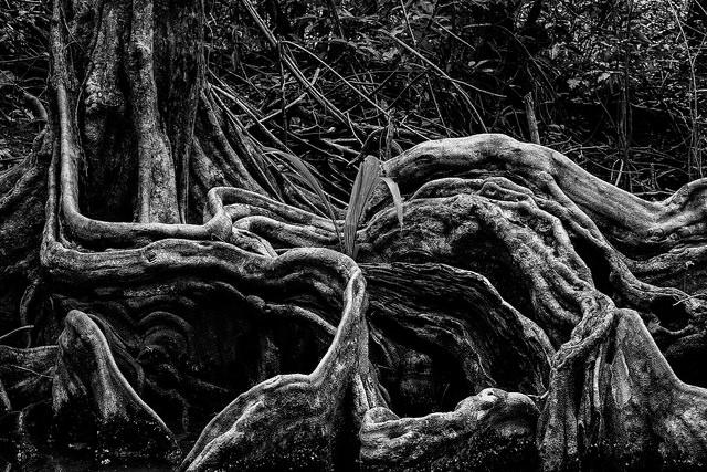 Schwarz weiße Wurzeln