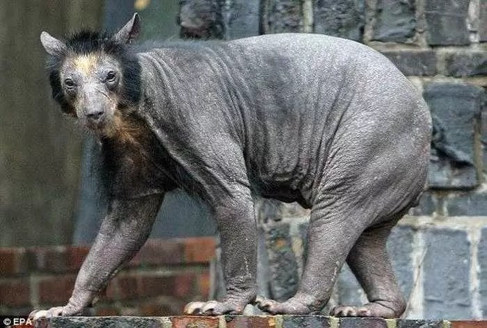 Unseen Funny Bald Bear Pictures of The Day -03