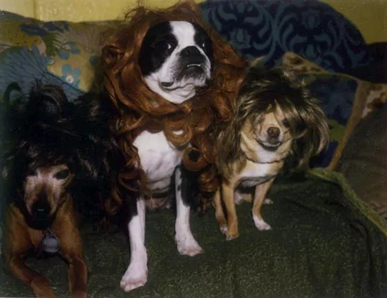 50 Photos of Crazy And Funny Dogs In Wigs That Will Make You LOL -01