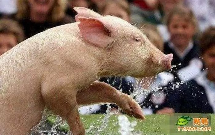 Meanwhile Funny Pig Racing In China - 7 Pics -05