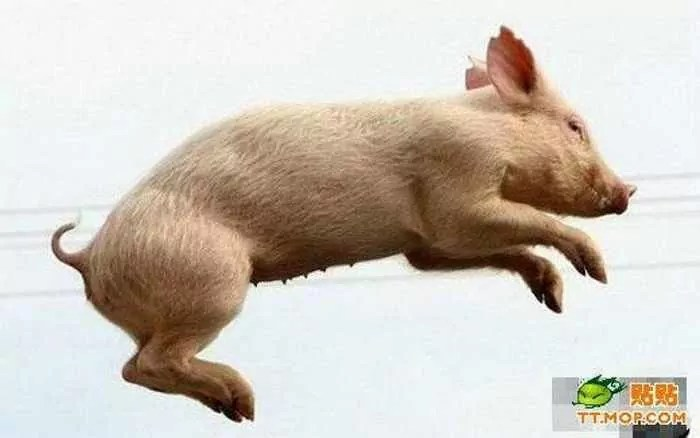 Meanwhile Funny Pig Racing In China - 7 Pics -07