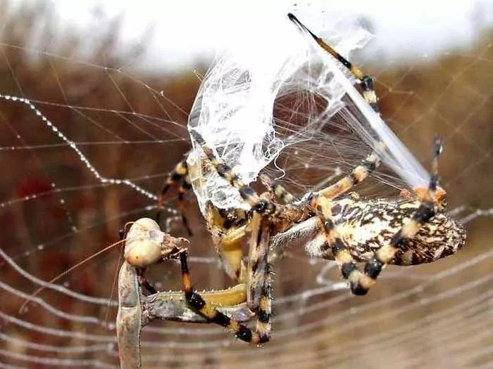 This Spider VS Mantis Battle Will Blow Your Mind - 8 Pics -03