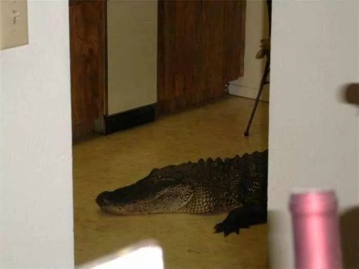 Scary Uninvited Guest Alligator in Home - 4 Pics -01