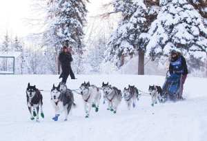 Willow WInter Carnival musher and dogs racing
