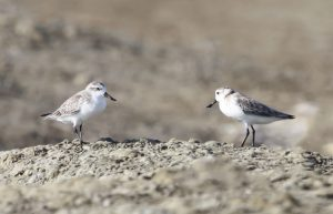 New page Spoon-billed Sandpiper © Elis Simpson