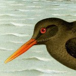 Oystercatchers - Canary Island Oystercatcher