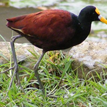 Northern Jacana in Texas