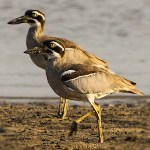 Stone Curlews and Thick-knees