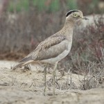 Stone-curlews and Thick-knees - Peruvian Thick-knee