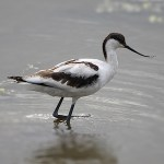 Avocets and Stilts Pied Avocet