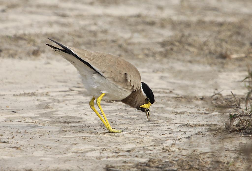 Yellow-wattled Lapwing (2) © Elis Simpson