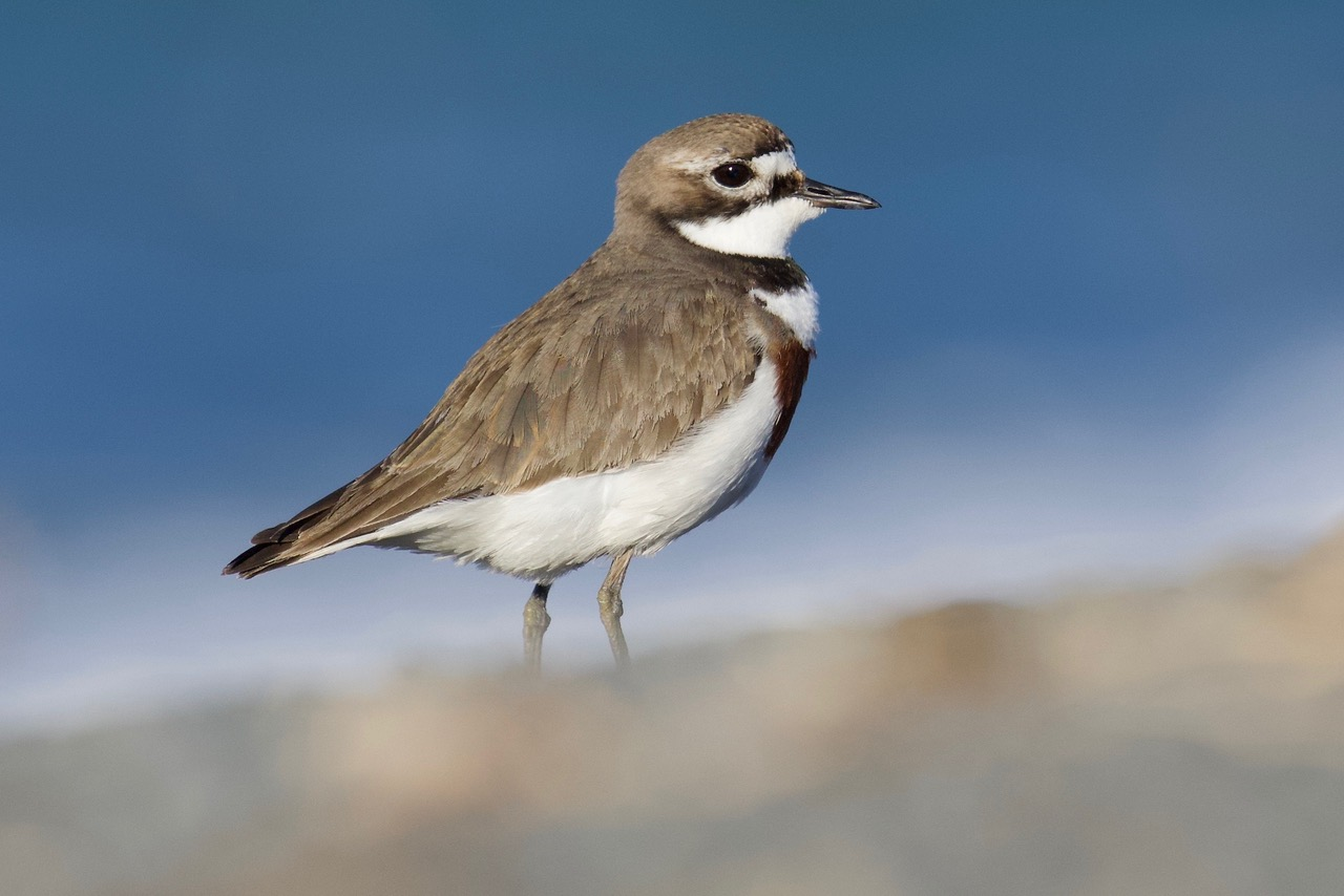Double-banded Plover (1) Dave Jackson