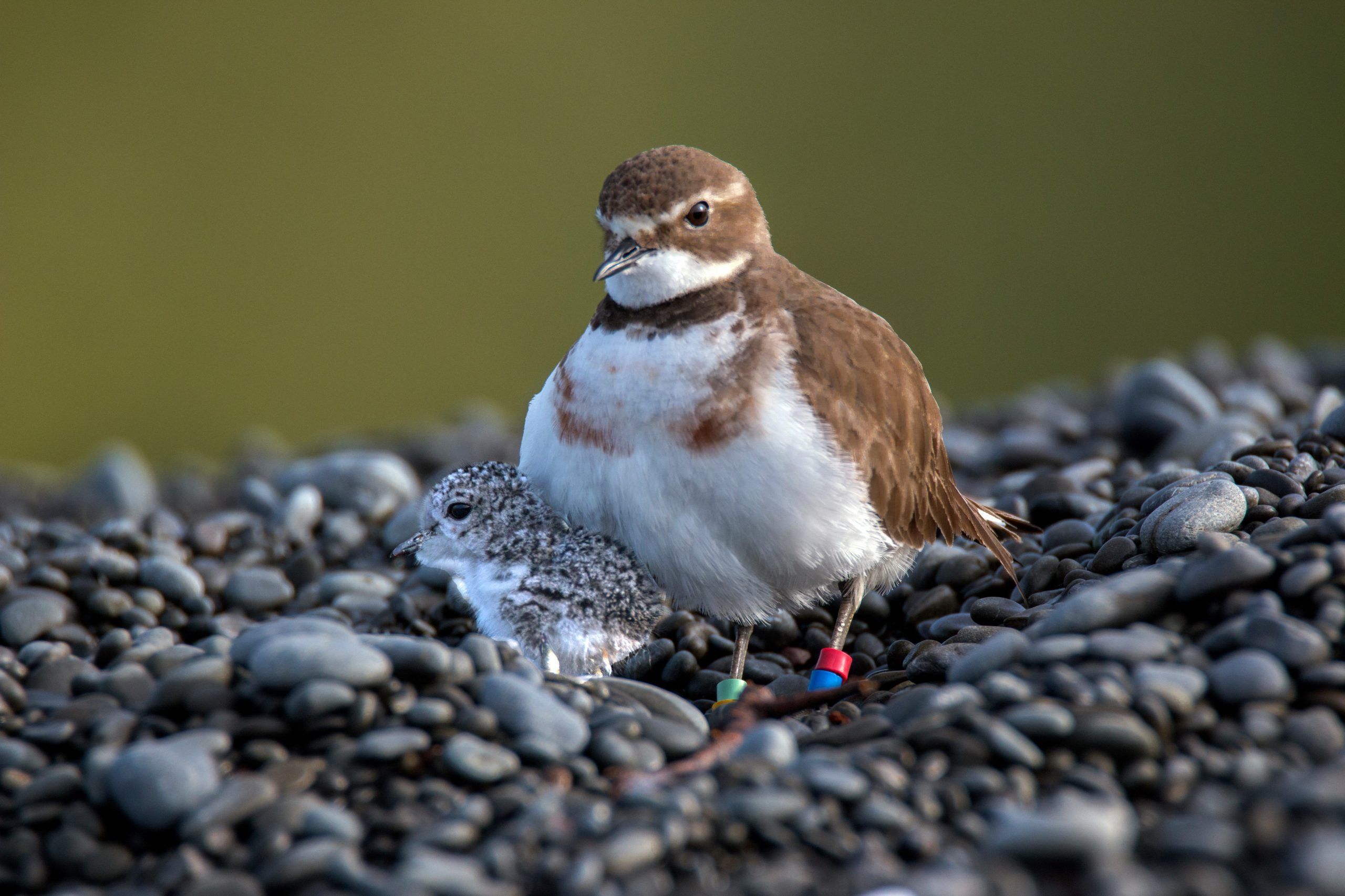 Double-banded Plover (2) Ailsa MacGilvray-Howard