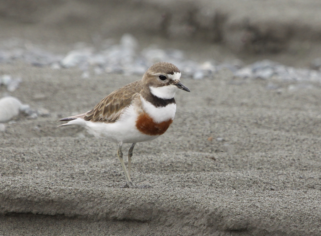 Double-banded Plover (3) Elis Simpson