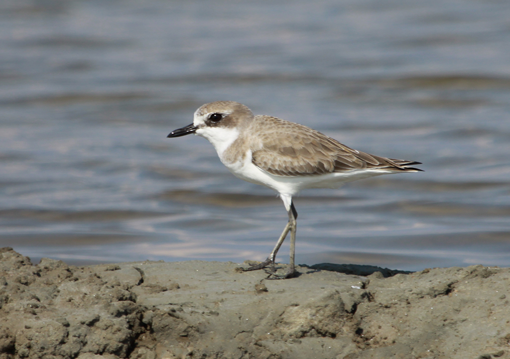 Greater Sand Plover (1) © Elis Simpson