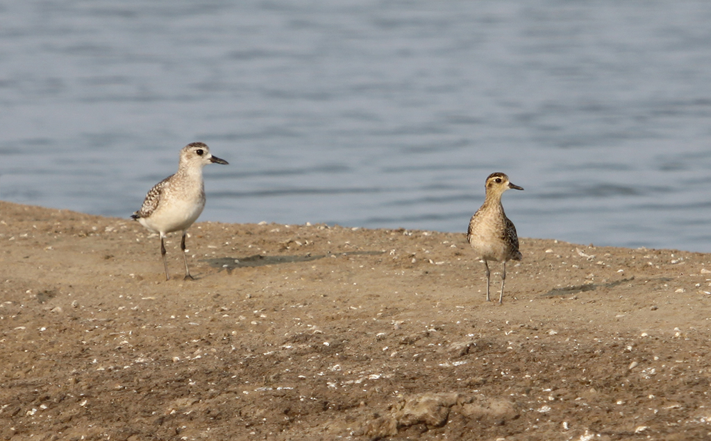 Grey and Pacific Golden Plovers (4) © Elis Simpson