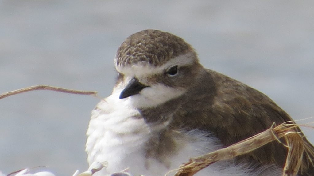 Double-banded Plover (5) Elis Simpson