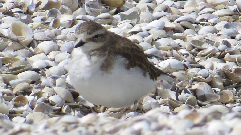 Double-banded Plover (6) Elis Simpson