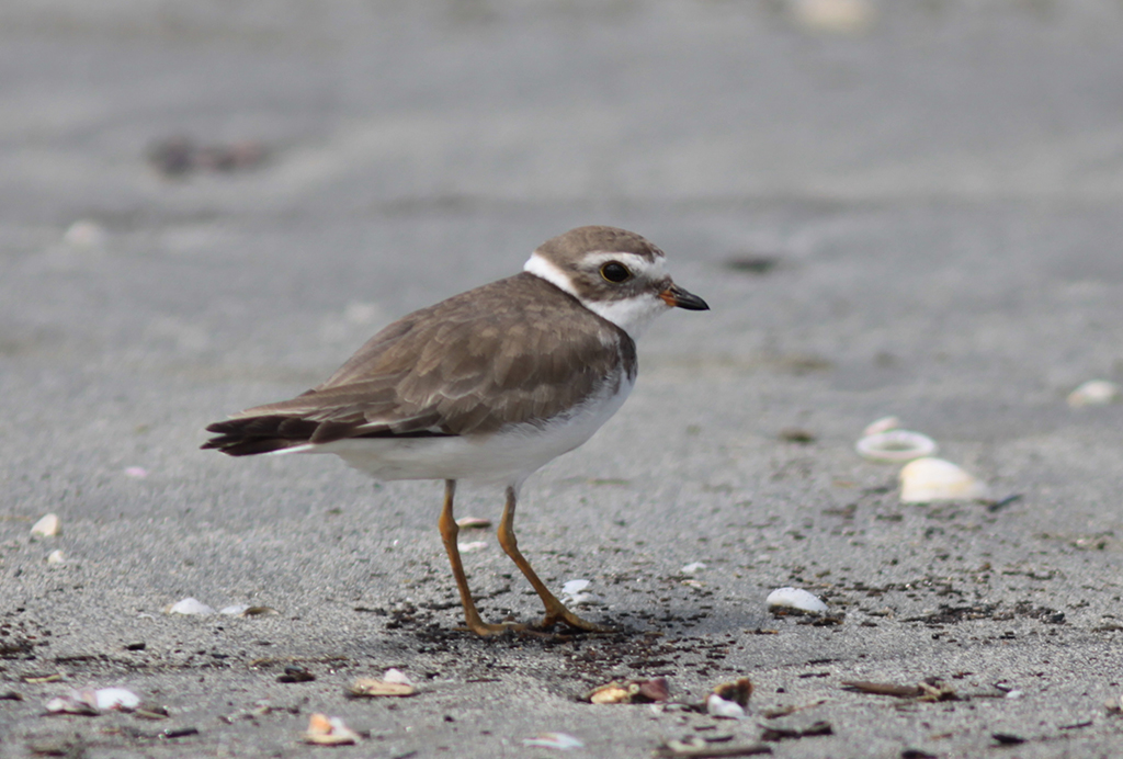 Semipalmated Plover (3) © Elis Simpson
