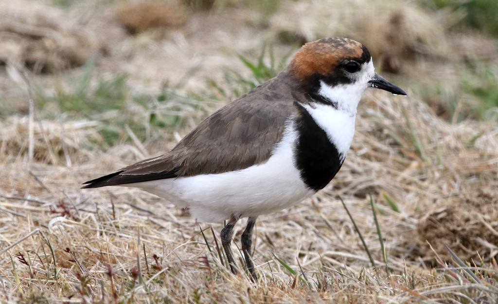 Two-banded Plover (2) © Barry Madden