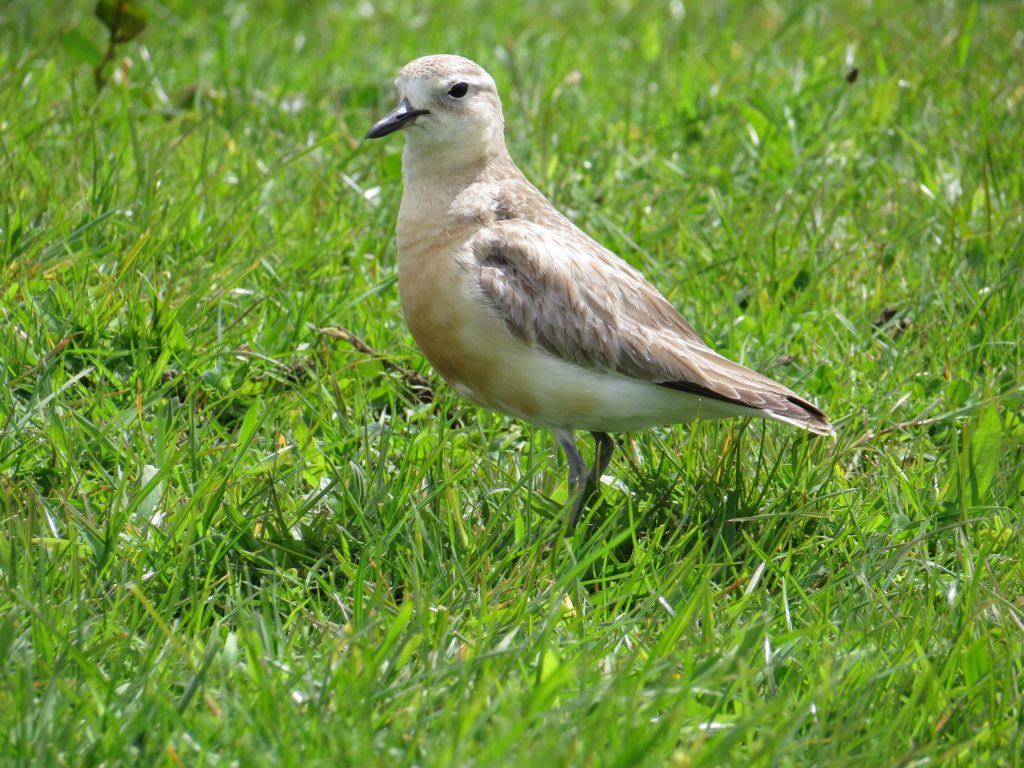 Northern Red-breasted Plover (2) © Elis Simpson