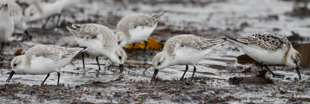 Sanderlings © Elis Simpson