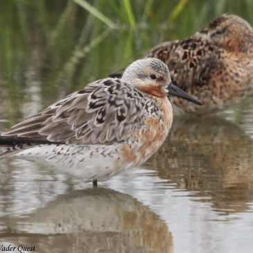 Red Knot disaster