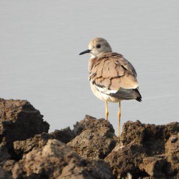 Team Wader Quest – Global Birding Weekend