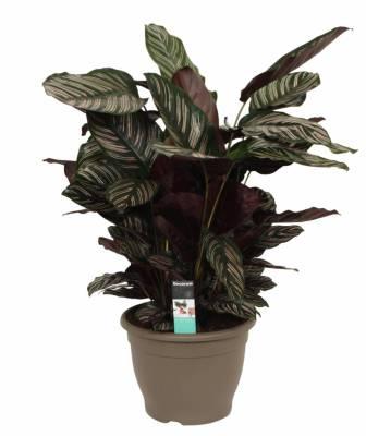 calathea, indoor plant, home plant