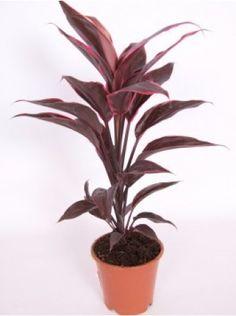 cordyline. indoor plant, decor plant