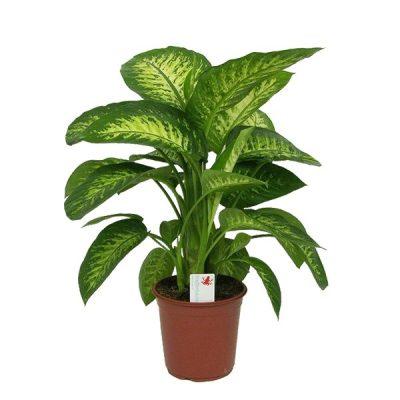 indoor plant, office plant, dieffenbachia