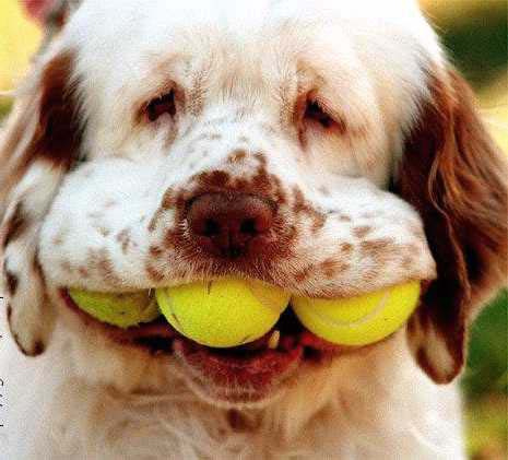 Silly Dog with Tennis Balls