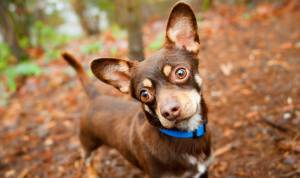 Chihuahua in the woods