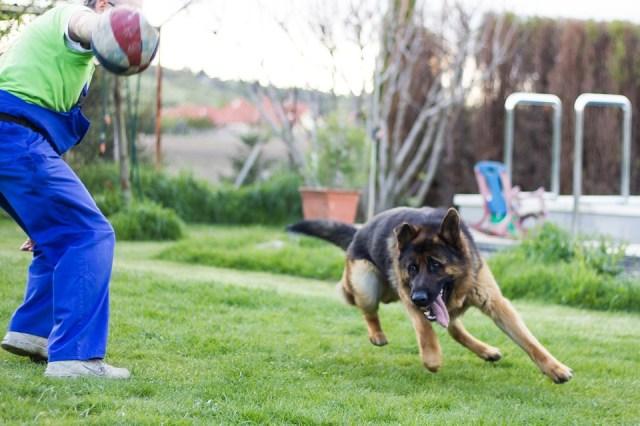 German Shepherd playing