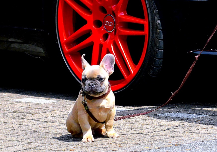 The French Bulldog on a leash