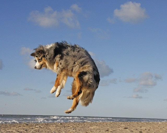 The Australian Shepherd exercise